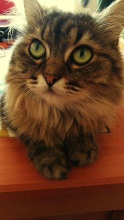 Cats Gato😽 Ilovemycat Mascotas Mainecoon Suki Cat♡