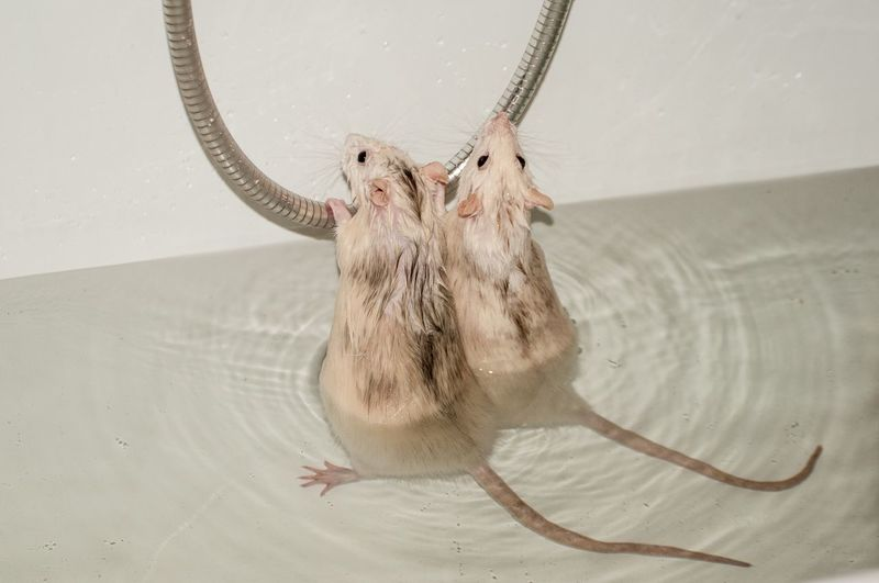 Close-up of rats in water