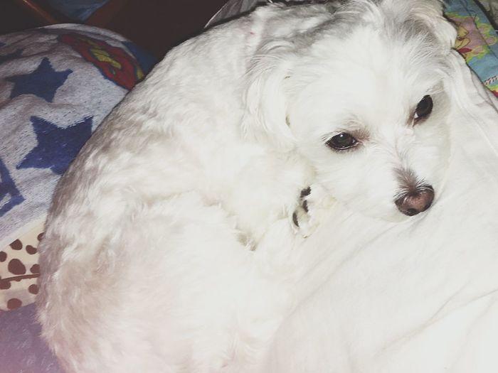 犬 愛犬 バニラ