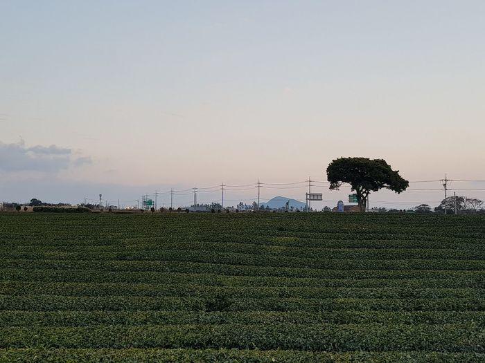 tea farm Trees