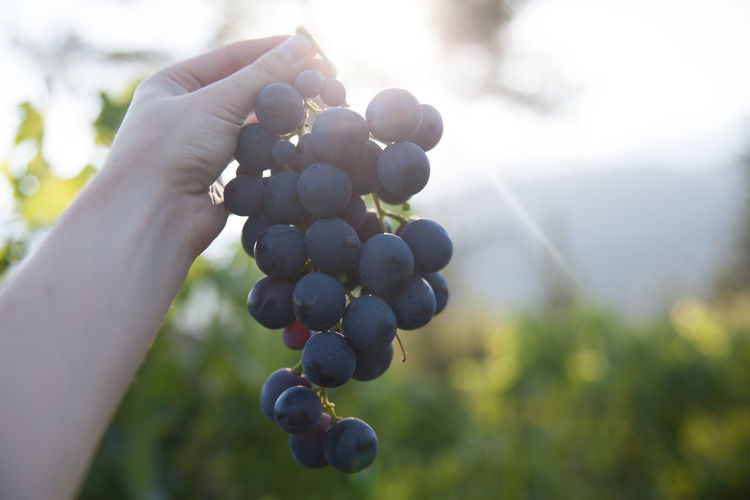 Close-up of hand holding wine grapes