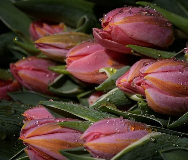 Close-up Drop Flower Flower Head Freshness Nature No People Pink Color Plant Tulip Wet