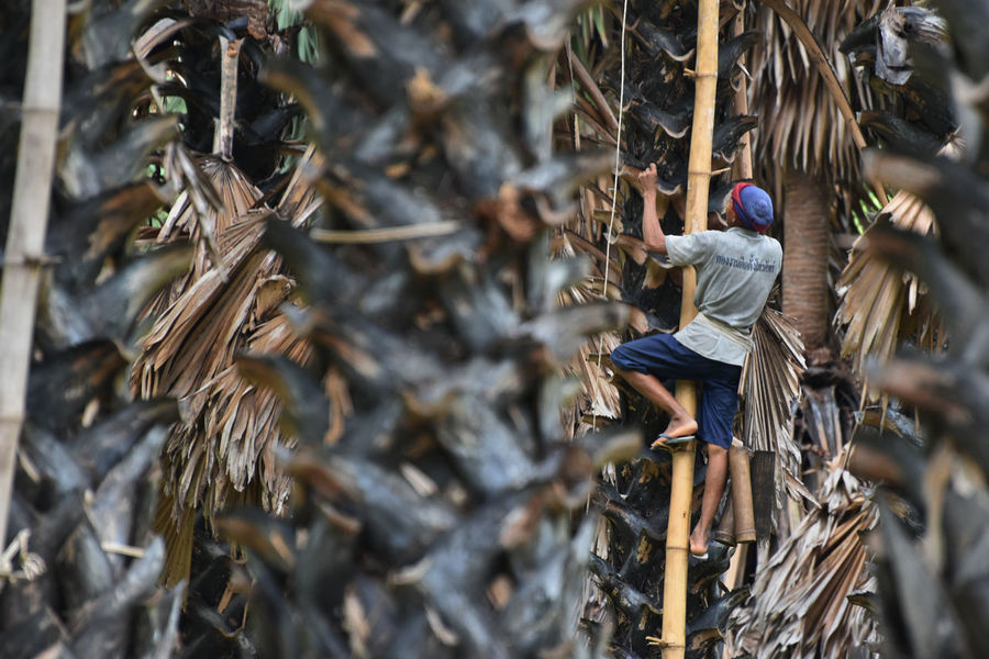 Sugar Palm Climb Close-up Countryside Day Life Lifestyles Man Men Nature One Person Outdoors People Real People Sugar Work Working