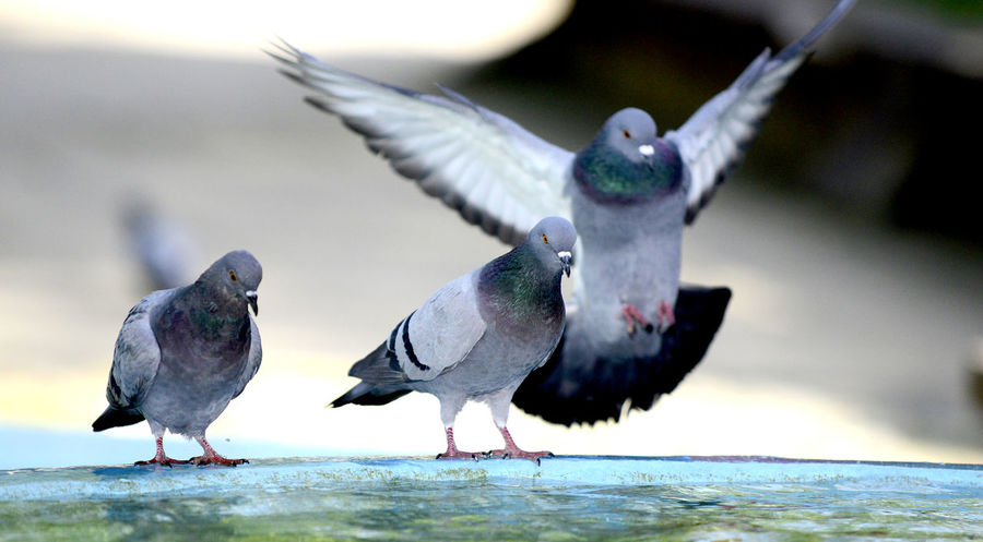pigeons on a fountain Bath Bird Bubble Dove Fountain Fountain Fun Fountains Hot Movement Pigeon Refreshing Water Waterdrops