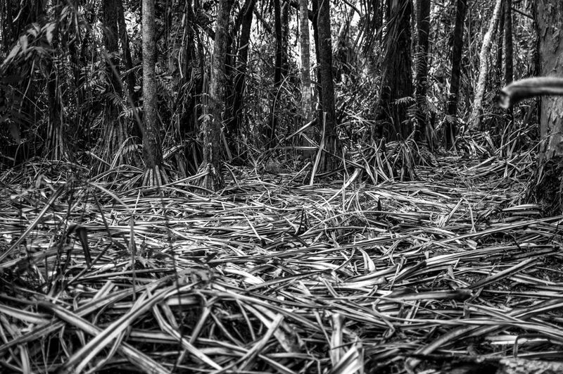Bamboo Forest Blackandwhite Leaf Nikon D90 Pattern Plant Patern Pieces Tropical Forest