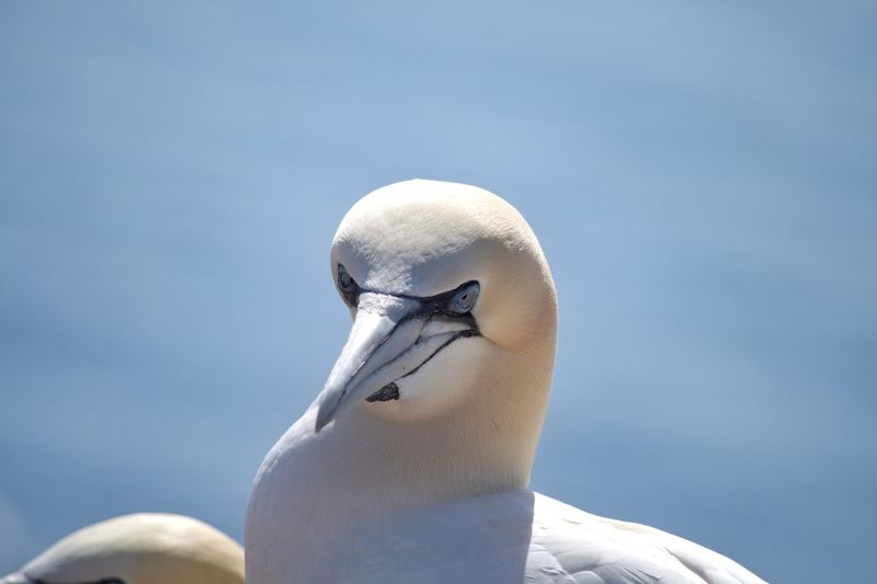 Close-up of gannet bird against clear sky