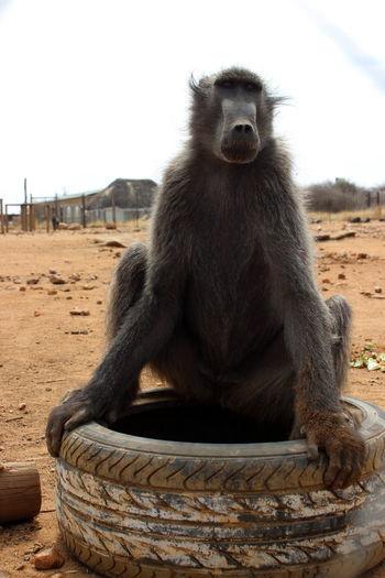 African Safari Baboon Baboon Portrait Baboons Monkey Monkeys NamibiaPhotography Tires