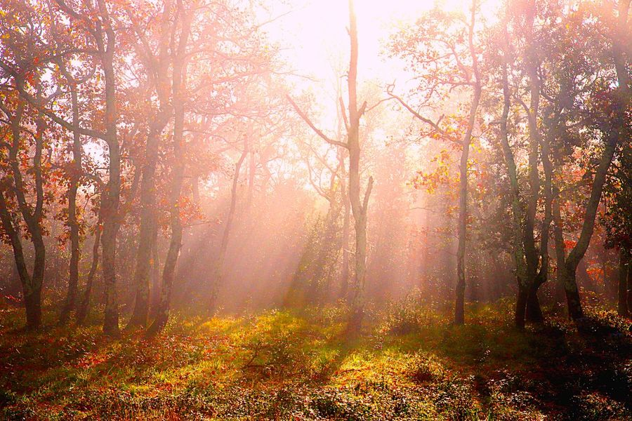 Tree Forest Beauty In Nature Plant Nature Land Sunlight Fog Tranquility Autumn Scenics - Nature Environment WoodLand Tranquil Scene Sunbeam Non-urban Scene Change