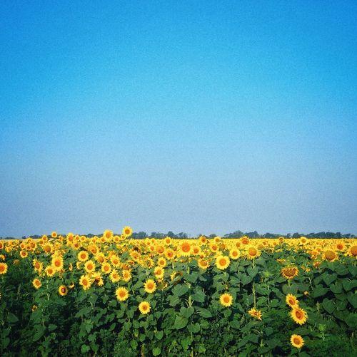 tatianakipka Flower Head Flower Clear Sky Rural Scene Yellow Blue Oilseed Rape Springtime Flowerbed Agriculture Wildflower Botany Plant Life