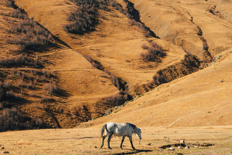 Horse is eating dried yellow grass on the hill with mountain in the background.
