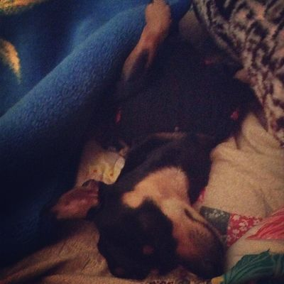 better view! Mimis Sleeping Tired Minpin chihuahua terriermix layinonhisback blacknbrown myson baby cuddleweather coldweather hunter