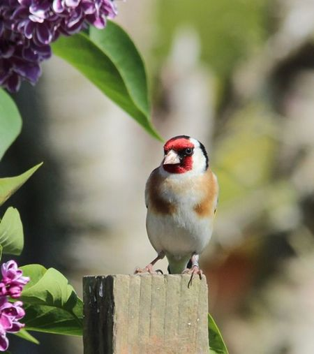Goldfinch Animal Wildlife Animal Themes Animal One Animal Animals In The Wild Bird Perching