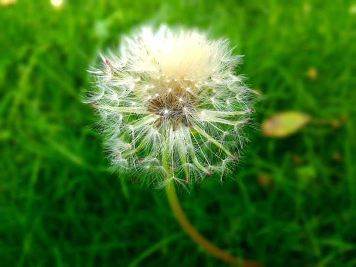 Nature Flower Dandelion Fragility Growth Beauty In Nature Plant Grass Environment Outdoors Flower Head No People Wildflower Close-up Photosynthesis Relaxed Moments Dandelion Seed Freshness Day