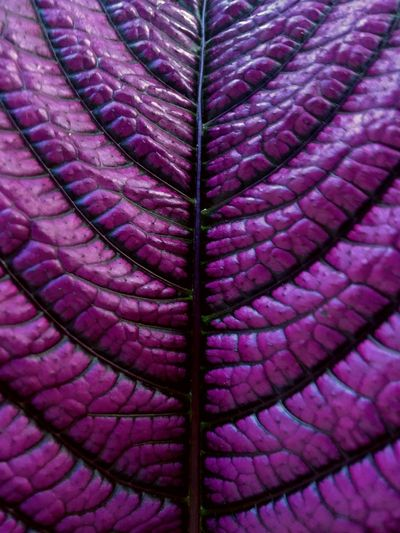 Leaf texture Backgrounds Full Frame Textured  Purple No People Pattern Close-up Purple Background Natural Texture True Colors Of Life True Color The Week On EyeEm EyeEmNewHere