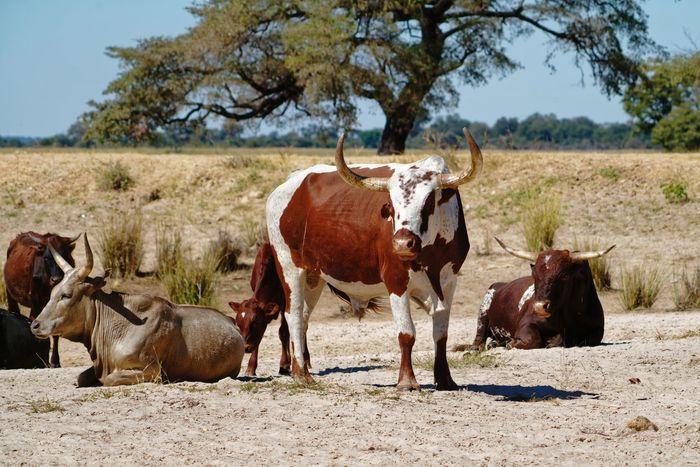 Nguni cattle herd Herd Bull Nguni Nguni Cattle Nguni Bull Okovango Namibia Africa EyeEm Selects Tree Full Length Rural Scene Sky Horned Herbivorous Domestic Cattle Livestock Tag Cattle Domesticated Animal Tag Livestock Cow