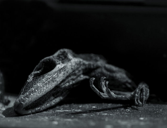 Black & White Black And White Photography Black Background Close-up Dead Lizard Nature One Animal Tadaa Community EyeEm Best Shots Beauty In Nature Still Life Photography Fine Art Photography EyeEm Gallery