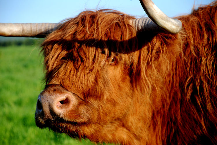 Highland Cattle Scotland Animal Themes Brown Cattle Close-up Cow Day Domestic Animals Domestic Cattle Field Grass Highland Cattle Livestock Mammal Nature No People One Animal Outdoors