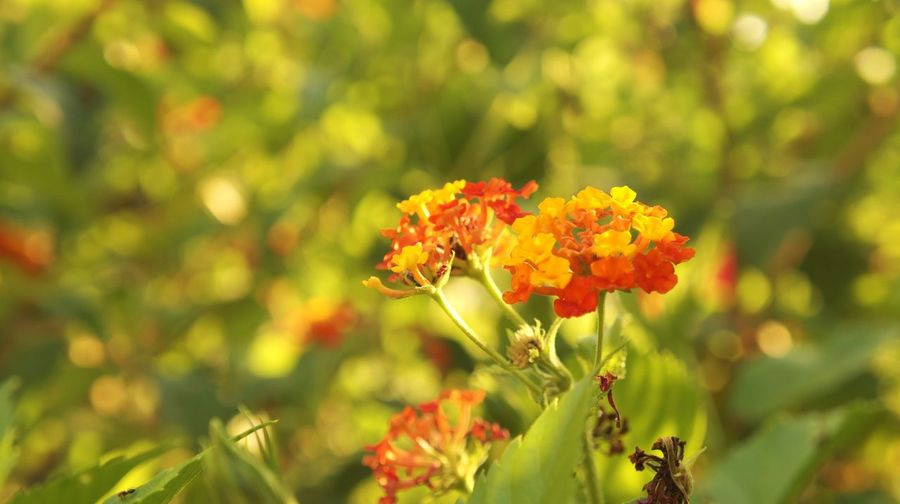Close-up of lantana camara