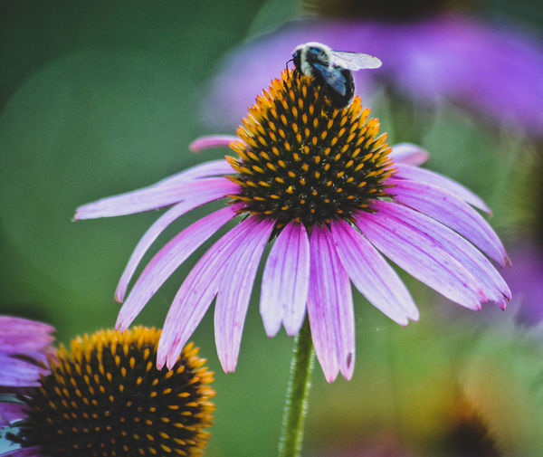 Buzz Flower Fragility Petal Purple Eastern Purple Coneflower Beauty In Nature Freshness Coneflower Flower Head Insect One Animal Nature Pollen Growth Plant No People Animal Themes Day Animals In The Wild Focus On Foreground Bee Coneflowers Echinacea Macro Photography Macro