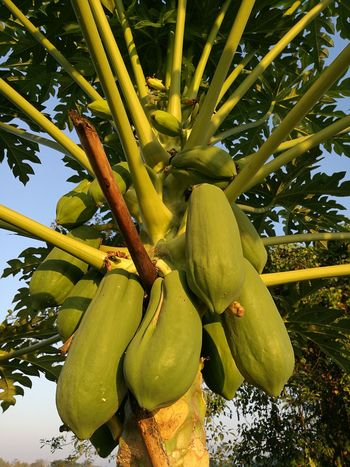 Tree Papaya Morning Light Rural Living Fruit