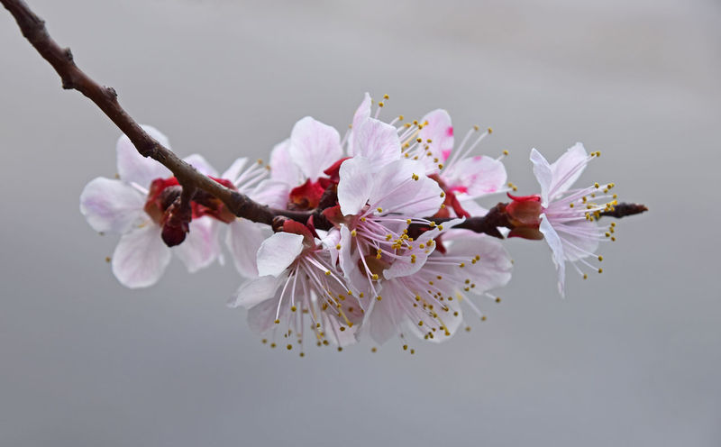 Apricot tree cherry blossoms Apricot Blooming Blossom Cherry Cherry Blossom Cherry Blossoms Cherry Tree Cherryblossom Close-up Flower Fragility Freshness Growth In Bloom Nature Petal Pollen Spring Springtime Stamen Tree Twig