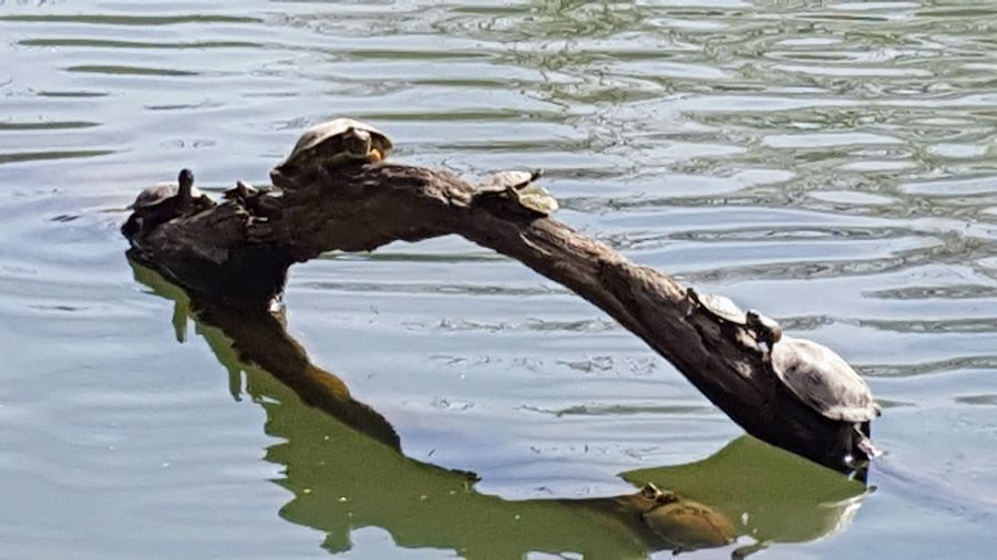 turtles in the