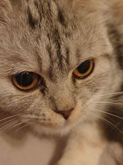 cat face Pets
