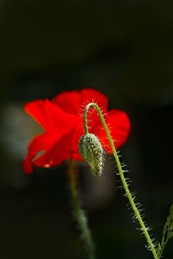 Red Flower Flowering Plant Beauty In Nature Plant Vulnerability  Fragility Petal Freshness Close-up Flower Head Growth Inflorescence No People Nature Focus On Foreground Plant Stem Pollen Poppy Outdoors Sepal Mohnblüte Dunkler Hintergrund