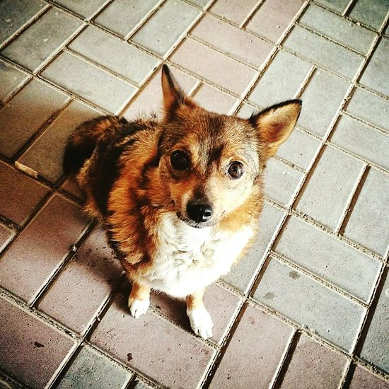 Little Dog❤ Takingphotos Love Dogs Check This Out Big Eyes Beautiful Eyes Life Is Beautiful Walking Likeit :)