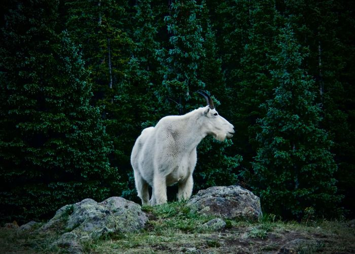 Mountain goat on rock in forest