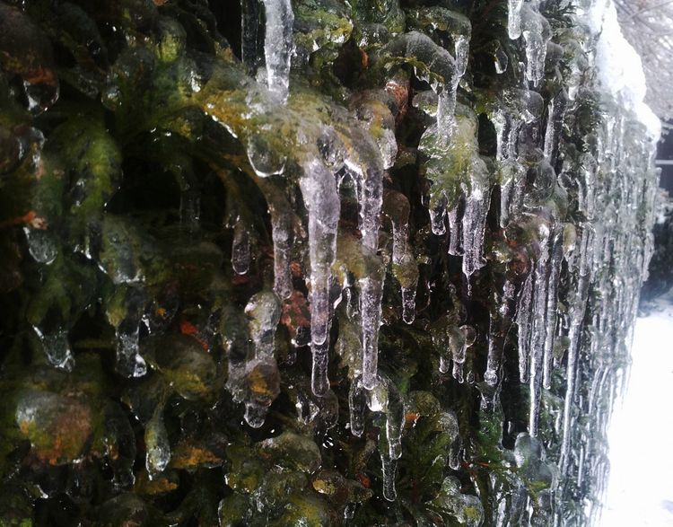 It's Cold Outside Freezing Rain Detail Cedars Bushes Iced Incased In Ice Faces Of Winter