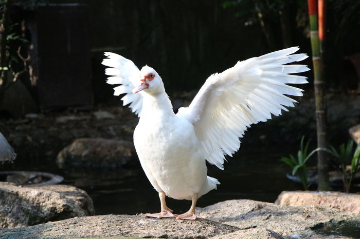 Beak Outstretched Poultry Animal Themes Animal Wildlife Animals In The Wild Bird Clap Day Fauna Feather  Goose Herbivore Herbivorous Nature No People One Animal Outdoors Park Plumage Spread Wings White Color Wild Wildlife Wings
