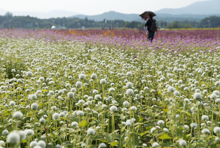 festival of globe amaranth flower with bellvedere at Nari Park in Yangju, Gyeonggido, South Korea Globe Amaranth Flower Adult Agriculture Beauty In Nature Day Field Flower Freshness Globe Amaranth Growth Landscape Nature One Person Outdoors People Plant Real People Rural Scene Women