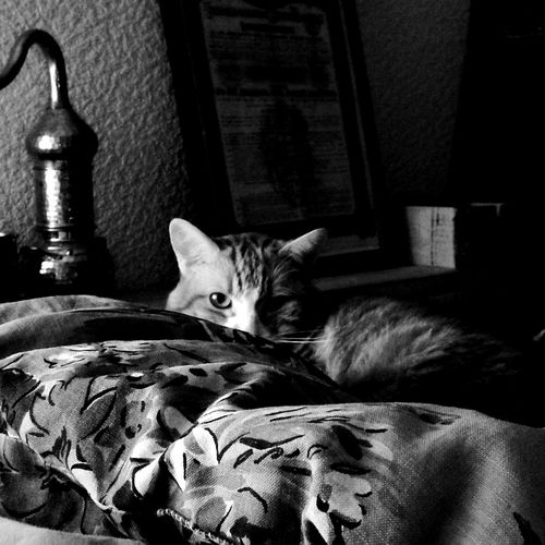 Pets Looking At Camera Animal Themes Feline Bedroom Bed Cat Comfy