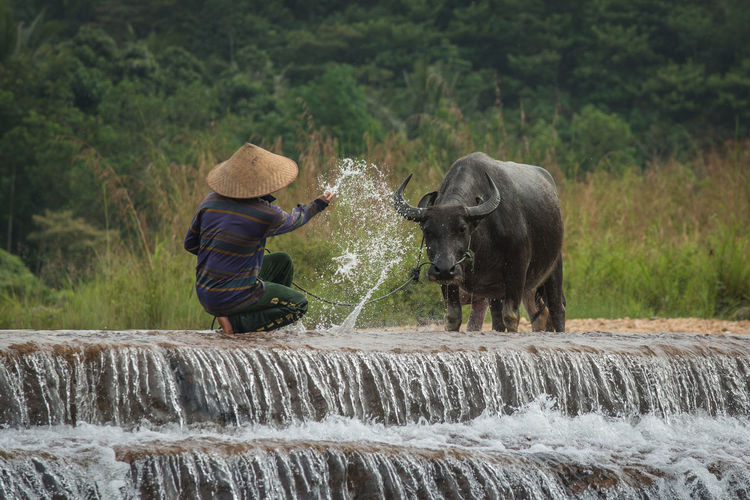 Rear view of farmer crouching while splashing water on buffalo in river