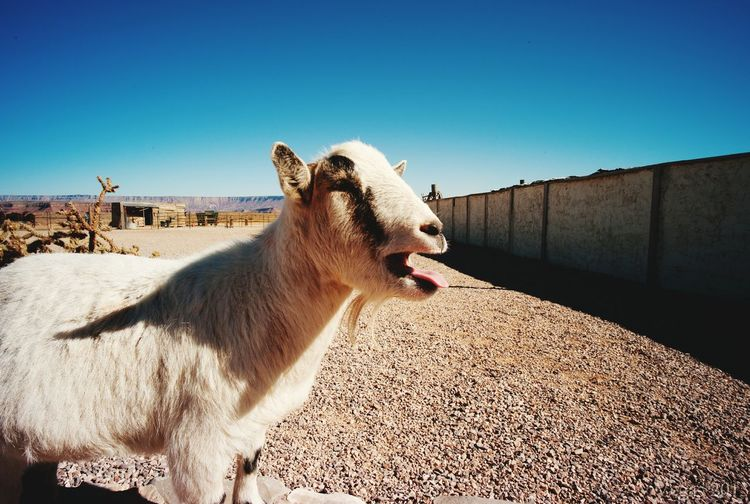 Great canyon, a goat name Willy Hello World Animals Animal_collection Animal Photography Grand Canyon Goats
