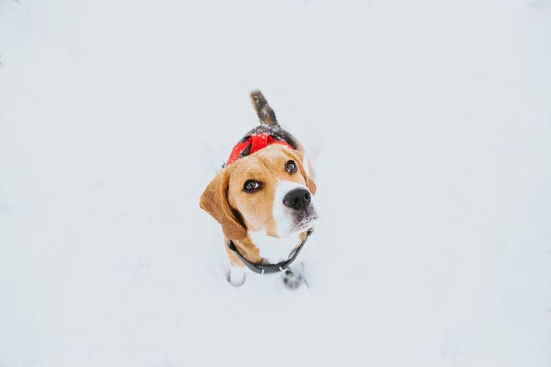 Beagle puppy portrait Funny Eyes Beagle Puppy❤ Dogs Of EyeEm Animal One Animal Canine Pets Dog Domestic Domestic Animals Mammal Animal Cold Temperature Animal Themes Copy Space Snow No People Portrait White Background Clothing Small Winter Vertebrate Pet Clothing