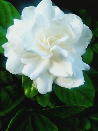 栀子花开 Flower Head Flower Peony  Leaf Springtime Petal Rose - Flower Blossom Softness Beauty