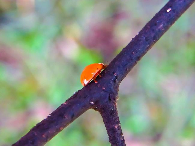 Ladybug Ladybird Ladybug Collection Insect Animal Wildlife Animals In The Wild One Animal Close-up Animal Themes Day Focus On Foreground Nature No People Red Outdoors Multi Colored Fragility Ladybug Orange Color Orange Ladybug Predator Hunting Good Insect