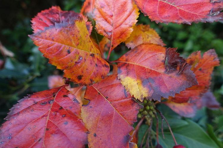 Autumn Red Leaf Autumn Change Multi Colored Close-up Plant