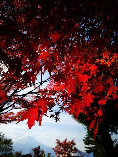 Mt.Fuji Maple Leaf Nature Outdoors Lake Kawaguchiko Lake Lake Kawaguchiko