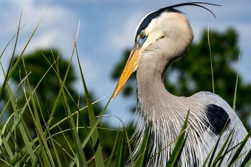 Profile View Of Great Blue Heron Amidst Grass