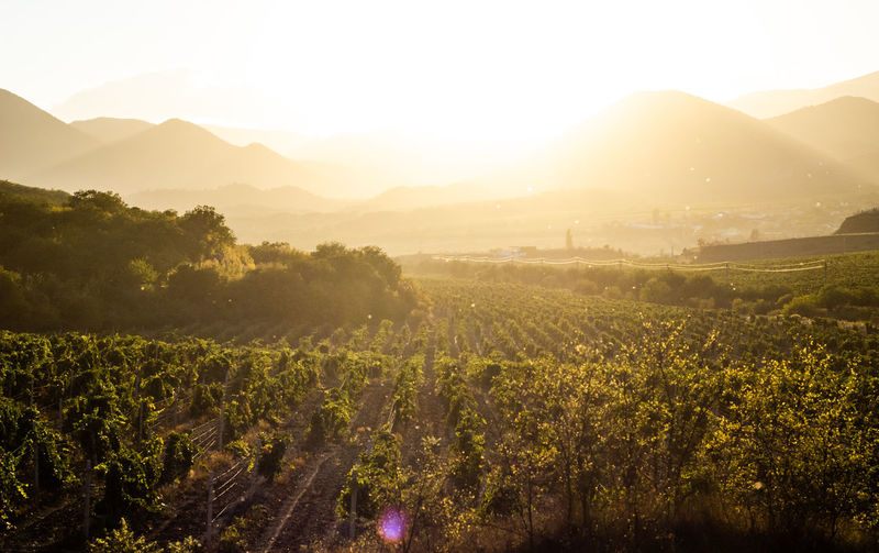 Vineyards at dawn. sun-drenched vineyards against the backdrop of mountains.