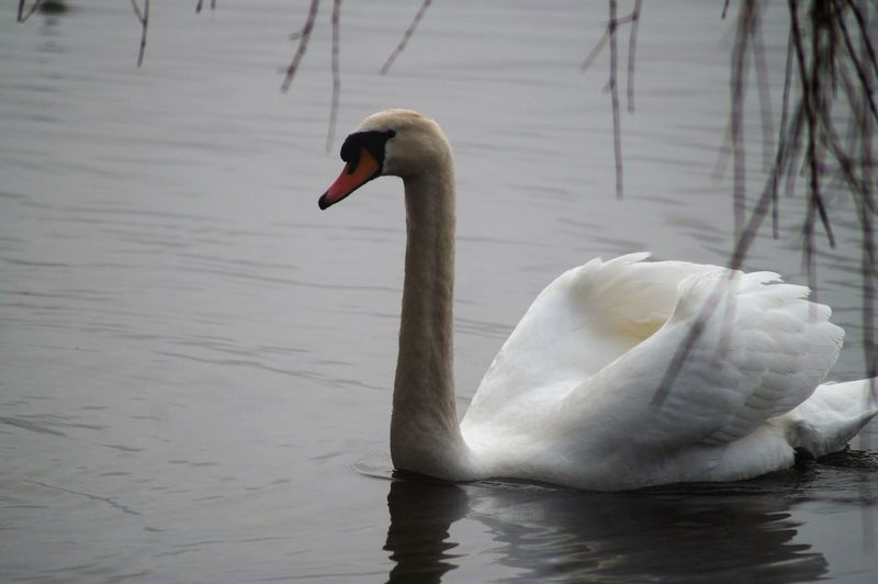 Animal Themes Animals In The Wild Beak Beauty In Nature Bird Close-up Day Floating On Water Lake Nature No People One Animal Outdoors Swan Swimming Water Water Bird Waterfront