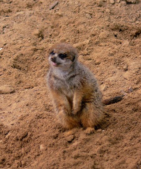 One Animal Animal Wildlife Animals In The Wild Mammal Meerkat No People Day Vertebrate Nature Outdoors Full Length Sand Dig In Sand Meercat  Cute Furry FUNNY ANIMALS