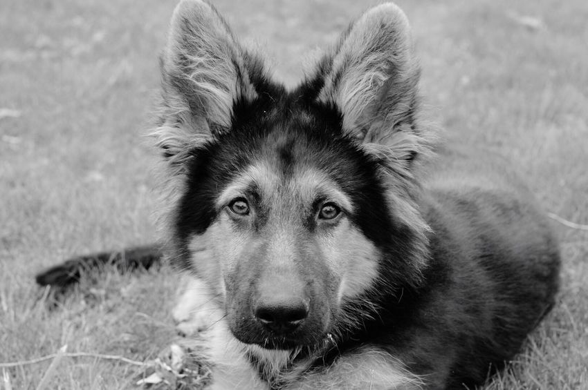 One Animal Dog Animal Themes Pets Looking At Camera Mammal Domestic Animals Portrait High Angle View No People German Shepherd Day Close-up Outdoors Nature