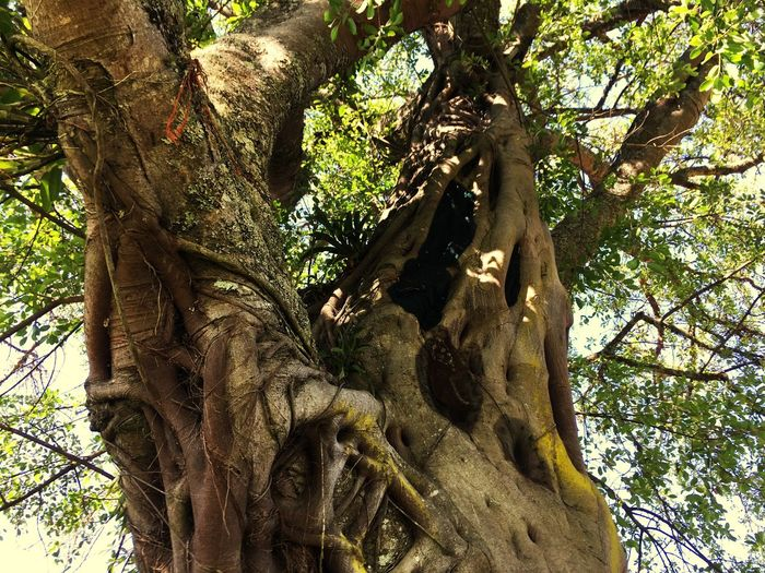 The big fig tree Tree Plant Low Angle View Growth Day Beauty In Nature