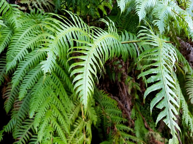 Nature_collection Nature Photography Levada Walk Caldeirão Verde Photography Landscape_Collection Landscape_photography Bildfolge Vacation Time Madeira Island Growth Green Color Nature Fern Plant Beauty In Nature Outdoors Frond No People Day Tree Close-up Freshness