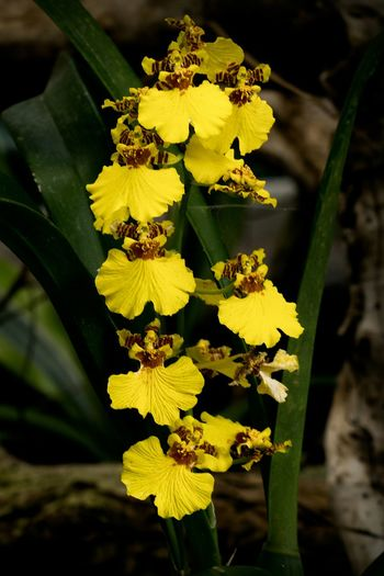 Dancing Lady Oncidium Yellow Orchid Growth Fragility Botany Flower Freshness