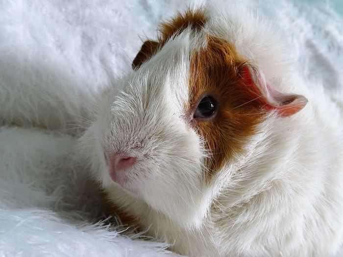 Close-up of guinea pig